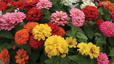 zinnia flowers youtube