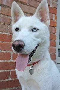 Can You Help Find Rocket? Missing White Husky in Central ...