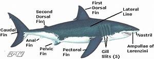 Adaptations Of The Great White Shark