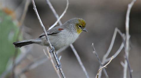 verdin arizona bird watcher