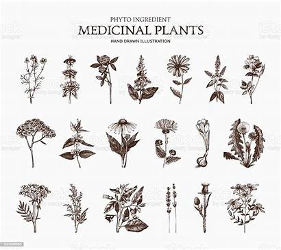 Herbs Vector Hand Drawn Spices Botanical Plant