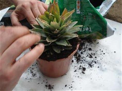 planter un ananas en pot comment faire pousser un ananas
