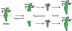 Regeneration In Hydra - Science -