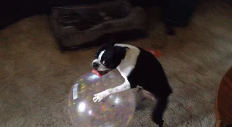 funny boston terrier  playing   giant ball