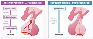 Anterior And Posterior Pituitary Hormones Mnemonic