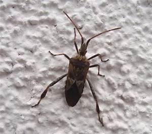 Käfer In Der Wohnung Bestimmen : wer kann diese wanze bestimmen insekten k fer bestimmung ~ Eleganceandgraceweddings.com Haus und Dekorationen