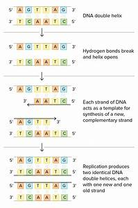 Dna Replication  U2013 Can Humans Liver Forever
