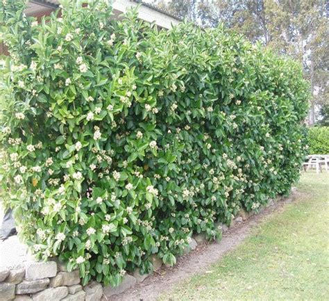 privacy landscaping plants best 25 natural privacy fences ideas on pinterest privacy trees back yard privacy ideas and