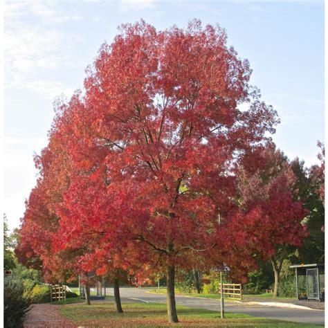 orchards purple autumn ash tree bare root shrm