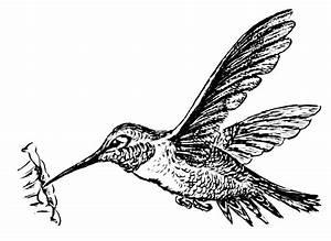 Hummingbird Drawings - ClipArt Best