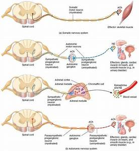 motor pathways nervous system