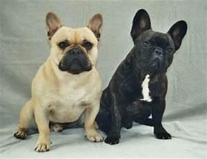 Hundebekleidung Französische Bulldogge : franz bulldogge erscheinung ~ Frokenaadalensverden.com Haus und Dekorationen