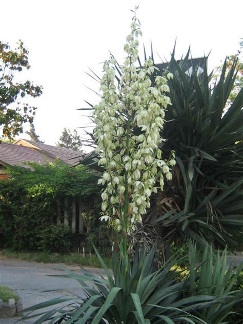 yucca gloriosa spanish dagger roman candle world