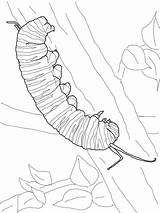 Caterpillar Monarch Coloring Pages Drawing Butterfly Printable Cocoon Line Clip Tattoo Print Visit Super sketch template