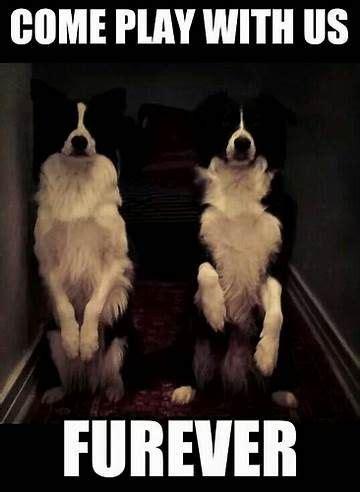Border Collie Meme - r 233 sultat d images pour border collie meme border collies pinterest collie dog and pup