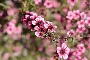 New Zealand Tea Tree Flowers Macro 1 Photograph by Linda Brody