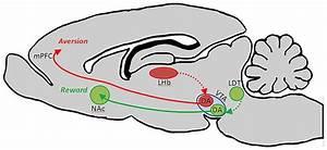 Ventral Tegmental Area Contains Functionally Heterogeneous