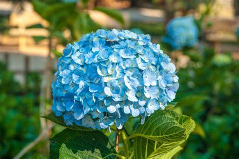 Vanité Signification by Hortensia Signification Des Fleurs