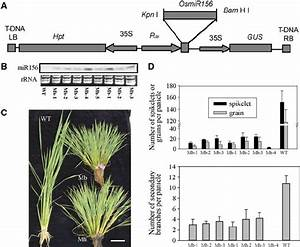 Overexpression Of Osmir156 In Rice  A  Schematic Diagram