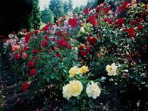 rose flowers wallpaper: Rose Flower Garden Wallpaper