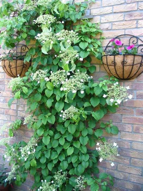 50 Climbing Hydrangea White Flower Vine Seeds *comb Sh Ebay