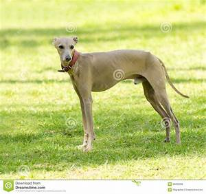 Italian Greyhound stock photo. Image of anorexic, fawn ...