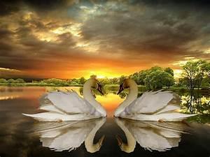 Love, Of, Swans, Lake, Trees, Dark, Clouds, Sunset, Desktop