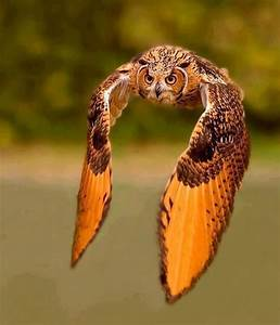 Pin by Pedro Agostini on Owls | Pinterest