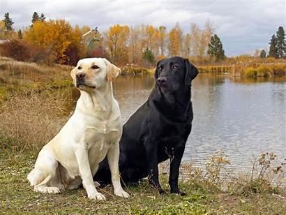 Labrador Retrievers Wallpapers Retriever Lab Dog Labradors