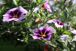 Petunien Samen Kaufen : petunien pflanzen balkon pflanzen blumen sichtschutz ~ Michelbontemps.com Haus und Dekorationen