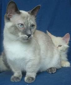 munchkin cats 7 facts about munchkin cats mental floss