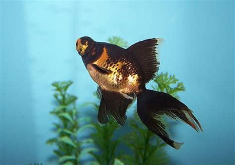 was fressen goldfische black moor goldfisch eine asiatische schoenheit tiere berichte