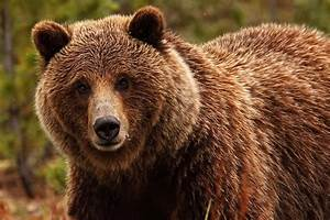 Grizzly Bear Face Profile