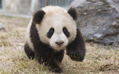 wallpapers  panda cute animals bear cub
