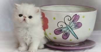 teacup cats for teacup kittens 36 photos evercats