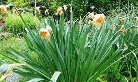 don t forget the daffodils joene s garden