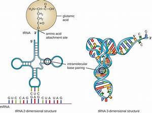 Structure Of Mrna Trna And Rrna | www.pixshark.com ...