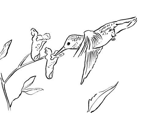 Hummingbird Coloring Page Samantha Bell
