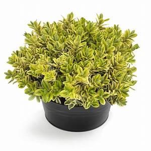 Blumen Lange Blütezeit : strauchveronika strauchveronika bestellen und liefern ~ Michelbontemps.com Haus und Dekorationen