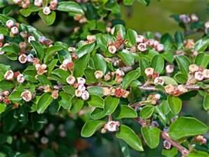 Pflanzen Immergrün Winterhart : beliebte schnellwachsende hecken pflanzen ~ Markanthonyermac.com Haus und Dekorationen