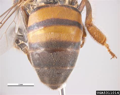 africanized honey bee apis mellifera spp scutellata