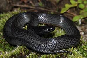 FileEastern Small Eyed Snake Cryptophis Nigrescens