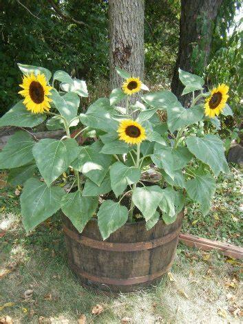 jual beli pohon bunga matahari  jual beli bibit