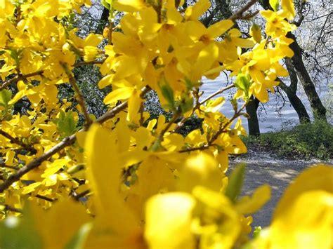 Forsythien Vermehren, Pflanzen, Zurückschneiden