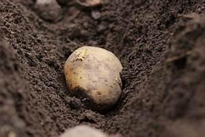 Wann Sind Brombeeren Reif : kartoffelernte wann sind kartoffeln reif zum ernten ~ Orissabook.com Haus und Dekorationen