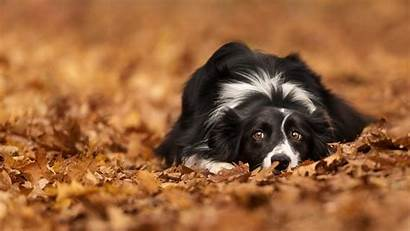 Collie Border Dog Wallpapers Collies Fall Computer