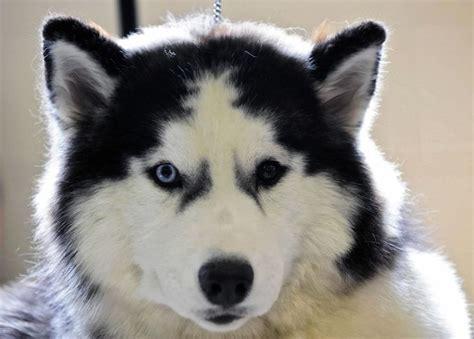 Best 25+ Siberian Husky Facts Ideas On Pinterest