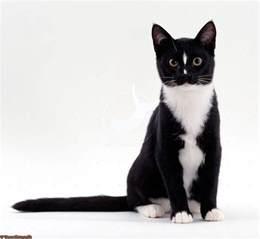 cat tuxedo tuxedo cat tuxedo cats grey cats