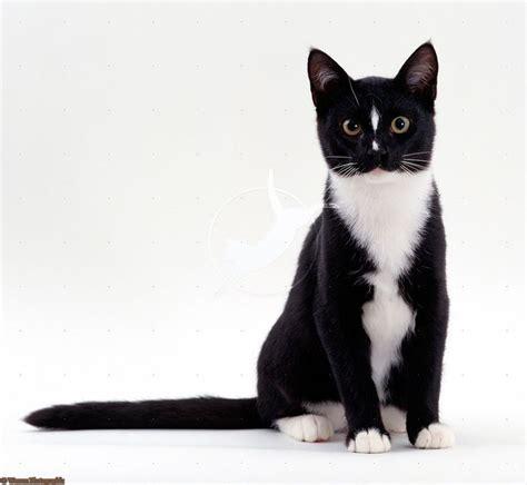 tuxedo cats tuxedo cat tuxedo cats grey cats pinterest