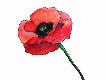 Poppy Flower Clipart Watercolor Transparent Painting Anzac